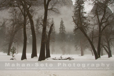 Yosemite Black Oaks