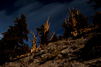 Bristlecone Moonlight